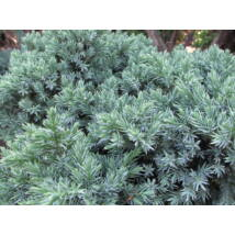 Blue Star nepáli törpe boróka / Juniperus squamata 'Blue Star' - 20-30