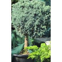 Blue Star nepáli törpe boróka / Juniperus squamata 'Blue Star' - magas törzsön ✷