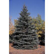 Hoopsii ezüstfenyő  / Picea pungens 'Hoopsii' ✷