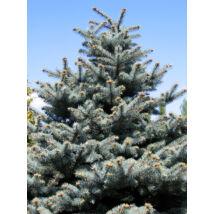 Glauca ezüstfenyő  / Picea pungens 'Glauca' - 150-175