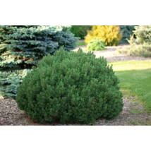 Mops törpefenyő / Pinus mugo 'Mops' - 20-25