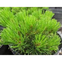 Pumilio törpefenyő / Pinus mugo var. pumilio - 20-25