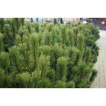 Törpefenyő / Pinus mugo