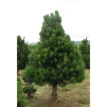 Osztrák feketefenyő / Pinus nigra 'Austriaca'