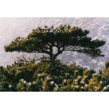 Feketefenyő / Pinus nigra - 100-125