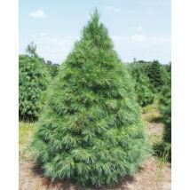 Simafenyő vagy selyemfenyő / Pinus strobus - 125-150