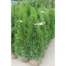 Smaragd tuja / Thuja occidentalis 'Smaragd' - földlabdás - 80-100