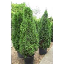Smaragd tuja / Thuja occidentalis 'Smaragd' - konténeres ✷