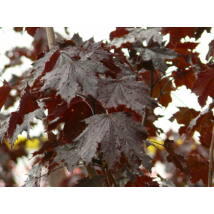 Crimson King vérjuhar / Acer platanoides 'Crimson King' - 200-225