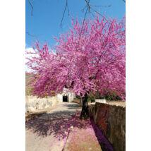 Közönséges júdásfa / Cercis siliquastrum - 175-200