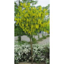 Hosszúfürtű aranyeső / Laburnum x watereri - 200-250