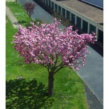 Susan liliomfa (fatermetű) / Magnolia 'Susan' - 125-150