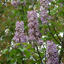 Kínai császárfa / Paulownia tomentosa ✥