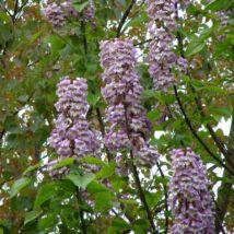 Kínai császárfa / Paulownia tomentosa - 175-200