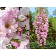 Oszlopos japán díszcseresznye / Prunus serrulata 'Amanogawa' - 200-250