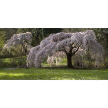 Csüngő japán díszcseresznye / Prunus serrulata 'Kiku-Shidare-Sakura' - 200-250