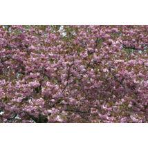 Royal Burgundy japán díszcseresznye / Prunus serrulata 'Royal Burgundy' - 200-225