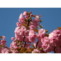 Japán díszcseresznye / Prunus serrulata Sp. - 125-150