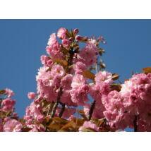 Japán díszcseresznye / Prunus serrulata 'Kanzan' ✥