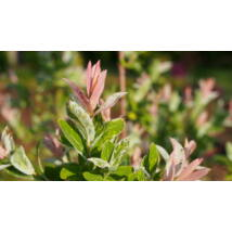 Tarkalevelű japán fűz / Salix integra 'Hakuro-nishiki' - 40-60 cm bokor