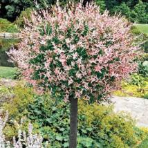 Tarkalevelű japán fűz / Salix integra 'Hakuro-nishiki' - 120 cm törzsön