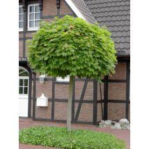 Gömbjuhar / Acer platanoides 'Globosum' - 225-250