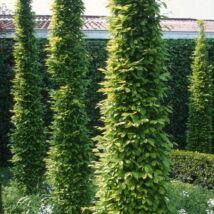 Oszlopos gyertyán / Carpinus betulus 'Fastigiata' - 250-300