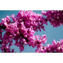 Forest Pansy júdásfa virág