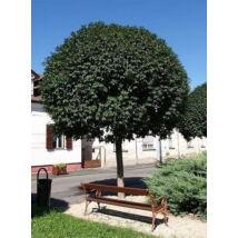 Gömbkőris / Fraxinus ornus 'Mecsek' - 250-300