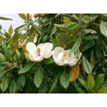 Edit Bague örökzöld liliomfa / Magnolia grandiflora 'Edit Bague' ✤