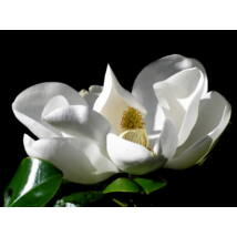 Galissoniere örökzöld liliomfa / Magnolia grandiflora 'Galissoniere' - 60-80