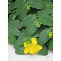 Örökzöld orbáncfű / Hypericum calycinum ✽