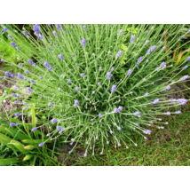 Levendula / Lavandula angustifolia ❁