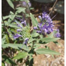 Angol kékszakáll / Caryopteris x clandonensis ❁