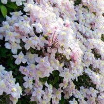 Hegyi iszalag / Clematis montana 'Mayleen' ∬