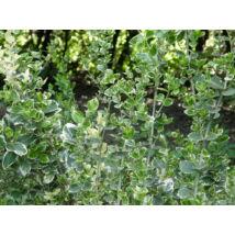 Ezüsttarka kúszó kecskerágó / Euonymus fortunei 'Emerald Gaiety' ✽