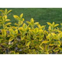 Aranytarka kúszó kecskerágó / Euonymus fortunei 'Emerald'n Gold' ✽