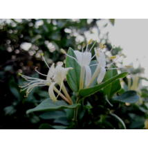 Örökzöld japán lonc / Lonicera japonica 'Halliana' - 40-60