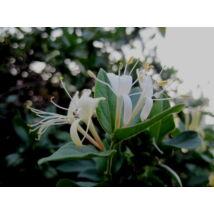 Örökzöld japán lonc / Lonicera japonica 'Halliana' - 60-80