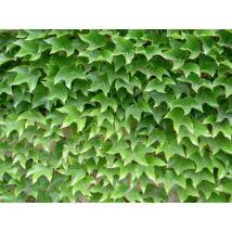 Repkény vadszőlő / Parthenocissus tricuspidata 'Veitchii' - 60-80