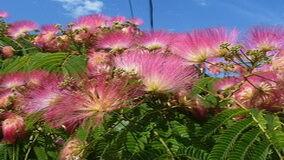 Selyemakác virágzása kép