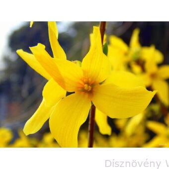 eatrix Farrand kerti aranycserje virág