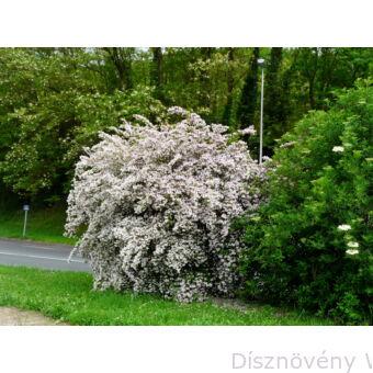 Viráglonc megjelenése virágzáskor