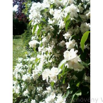 Teltvirágú jezsámen virágzásban