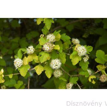Luteus hólyagvessző virágzása