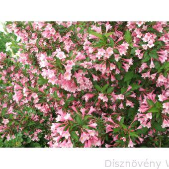 Kínai rózsalonc virágzás