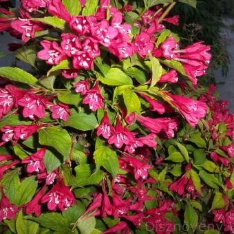 Bristol Ruby rózsalonc virágzásban virág
