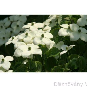 Csillagsom virágok