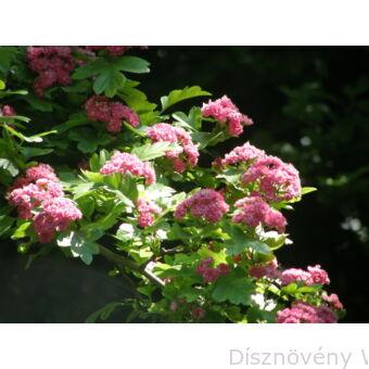Pirosvirágú díszgalagonya virágzó ág