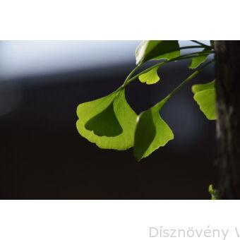 Ginkgo páfrányfenyő jellegzetes levelei